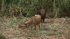 Haiti Cane Fields 3 - stock footage