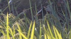 Odonata in rice farm s03 Stock Footage