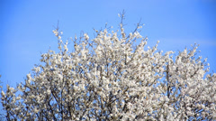 Cherry tree flowers blooming in springtime.tree sway by wind against blue sky Stock Footage