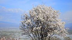 Tree flowers blooming in springtime.tree sway by wind against blue sky, lond Stock Footage