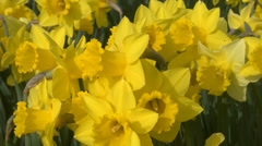 Daffodils 4K Stock Footage