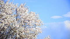 Cherry tree flowers blooming in springtime.tree sway by wind against blue sky Stock Footage
