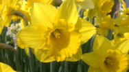 Stock Video Footage of 4K Daffodils