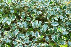 Holly plant leaves with thorns growing in nature Stock Photos