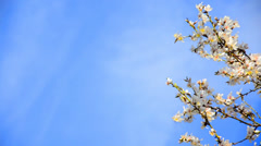 Dolly along a branch with cherry pearl blossoms. the shot is from under the b Stock Footage