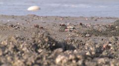 Red Clawed Crab02 Stock Footage