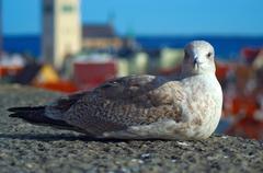 seagull at tallinn - stock photo