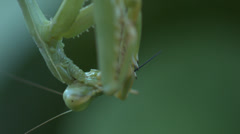 Close up of prey mantis eating Stock Footage
