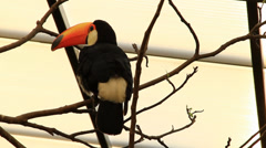 A Toucan looks around Stock Footage