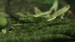 Stock Video Footage of mangshan pitviper coiled
