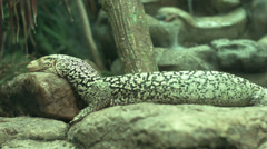 Nile monitor lizard sleeping. Stock Footage