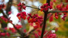 Euonymus, flowers on the branches Stock Footage