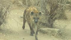 Hyena walking Stock Footage