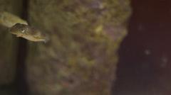 Dwarf cuttlefish scared Stock Footage