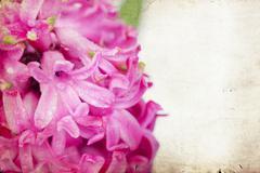 Vintage pink hyacinth Stock Photos