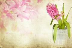 vintage pink hyacinth - stock photo