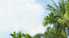 The tops of tropical trees swaying against the sky Stock Footage