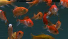 Gold fishes breeding in fish tank - stock footage