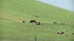Milk Cows Dairy Cattle Grazing Green Grassy Hills Farm Sunny Outdoor Brown Horns - stock footage