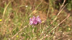 Purple California Wildflower Blows Wind  Green Grass Field Background Sunny Outd Stock Footage