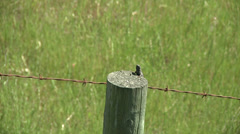 Lizard on a Fencepost  Barbed Wire Green Grass Stock Footage