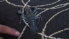 Lobster Walking Away from Camera and Size Comparison to Hand Stock Footage