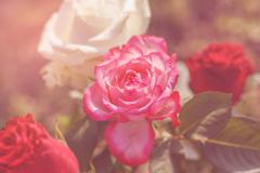 Roses with sun flare Stock Photos