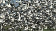 Stock Video Footage of Snow Geese, Goose, Geese, Flock, Birds, Fly, 4K, UHD