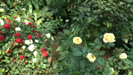 Stock Video Footage of Different types and colors of UK roses in full bloom.(ROSE--99b)