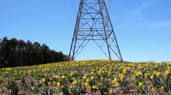 High voltage transmission tower daffodils jonquils Stock Footage