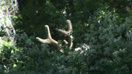 Stock Video Footage of Deer Antlers Behind Bush