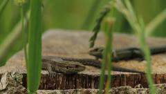 Common Lizard Stock Footage