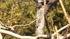 Palm squirrel. Mysore. India Stock Footage