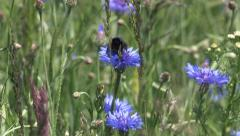 Bumblebee on a Cornflower - stock footage