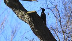 Black Woodpecker - stock footage