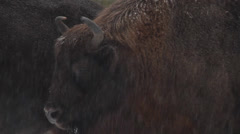 Close up of the head of an European Bison in winter Stock Footage