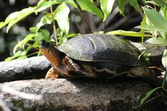 turtle sun bathing - stock photo