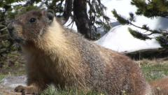 Marmot in the high sierra grass Stock Footage