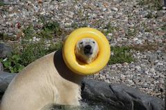 playful polar bear acting silly - stock photo