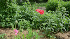 Red poppy flower blooms and buds grow near raspberry plant Stock Footage