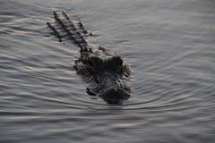 Alligator swimming closeup Stock Photos