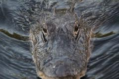 alligator closeup swimming - stock photo