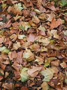 bed of dead leaves. - stock photo