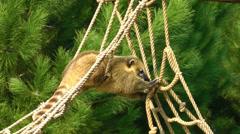 Coati Raccoon in the Nature Stock Footage