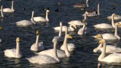 WHOOPER AND MUTE SWANS LARGE GROUP #3 Stock Footage