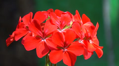 Red flowers natural lighting timelapse Stock Footage