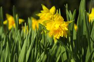 Stock Photo of daffodils