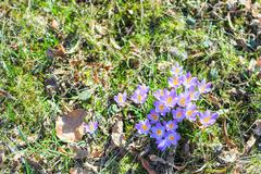 spring crocus floweres on the grass - stock photo