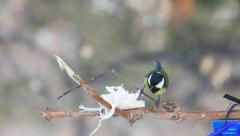 Titmouse eating lard at the tree Stock Footage