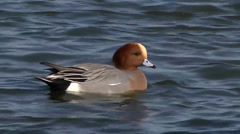 WIGEON #2 Stock Footage